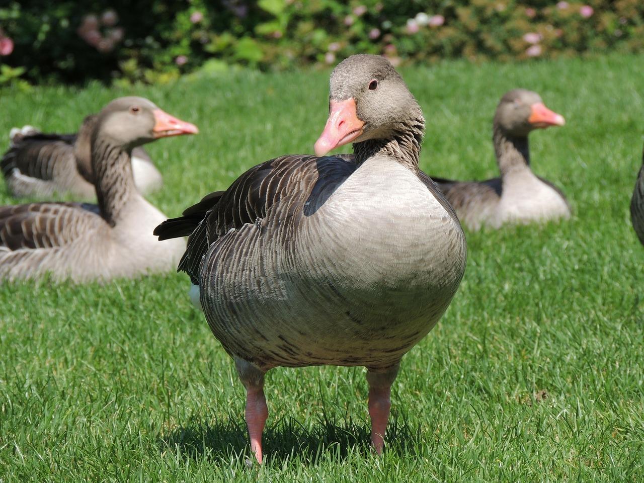 goose-168560_1280