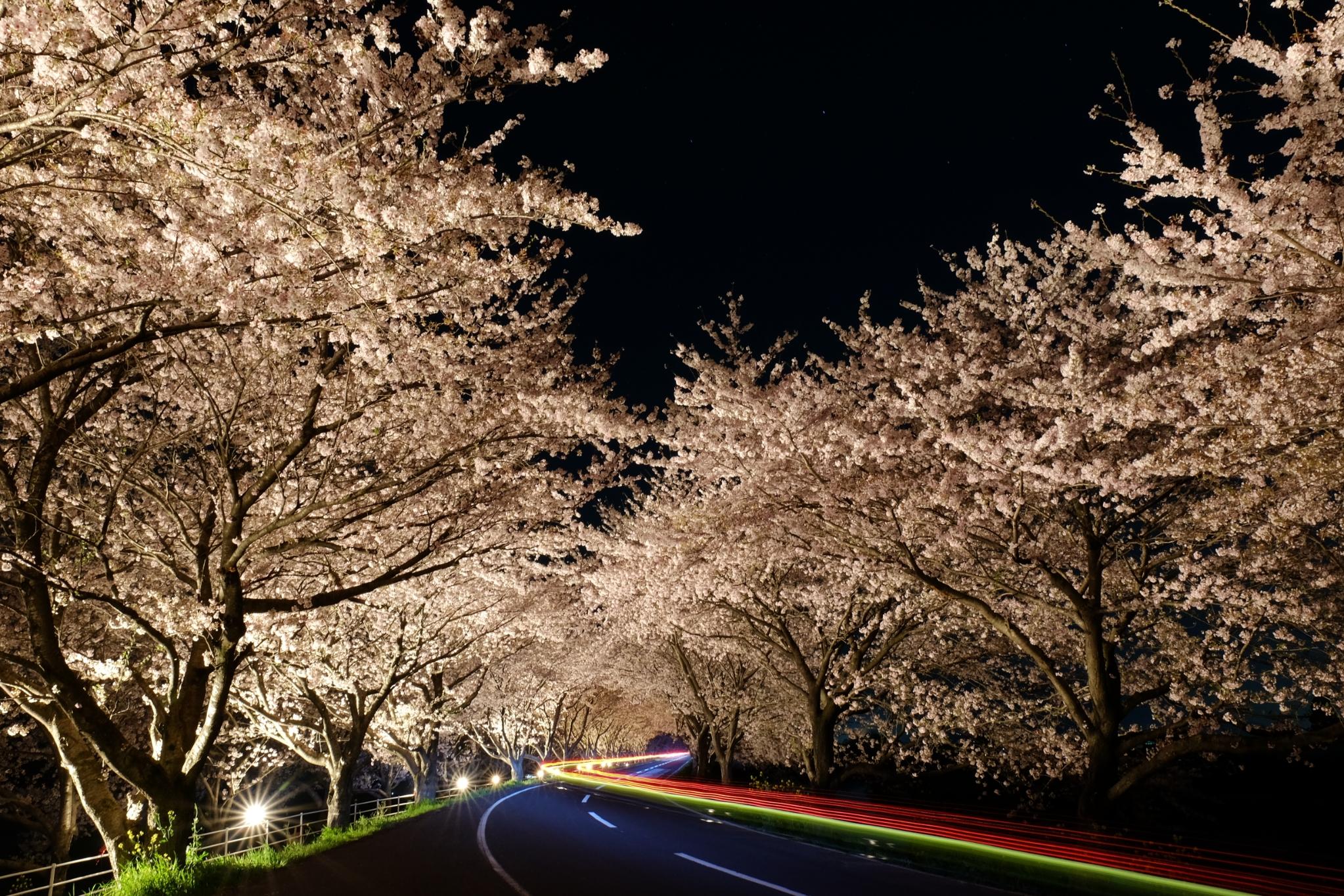 春 金賞 桜並木の残光
