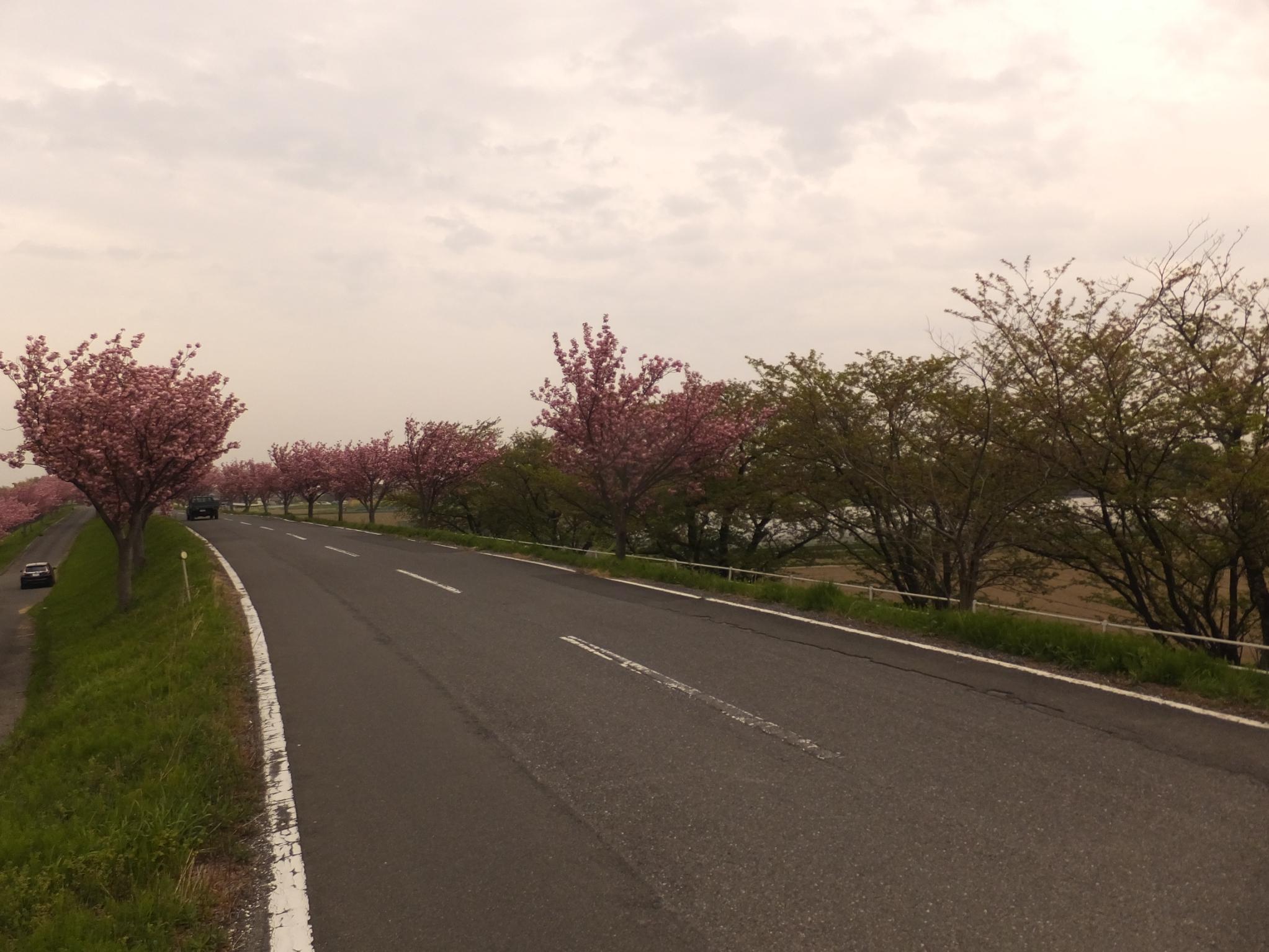 20180411_大榑川 八重23