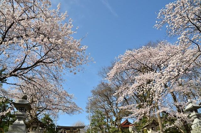 sakura_oono_150404