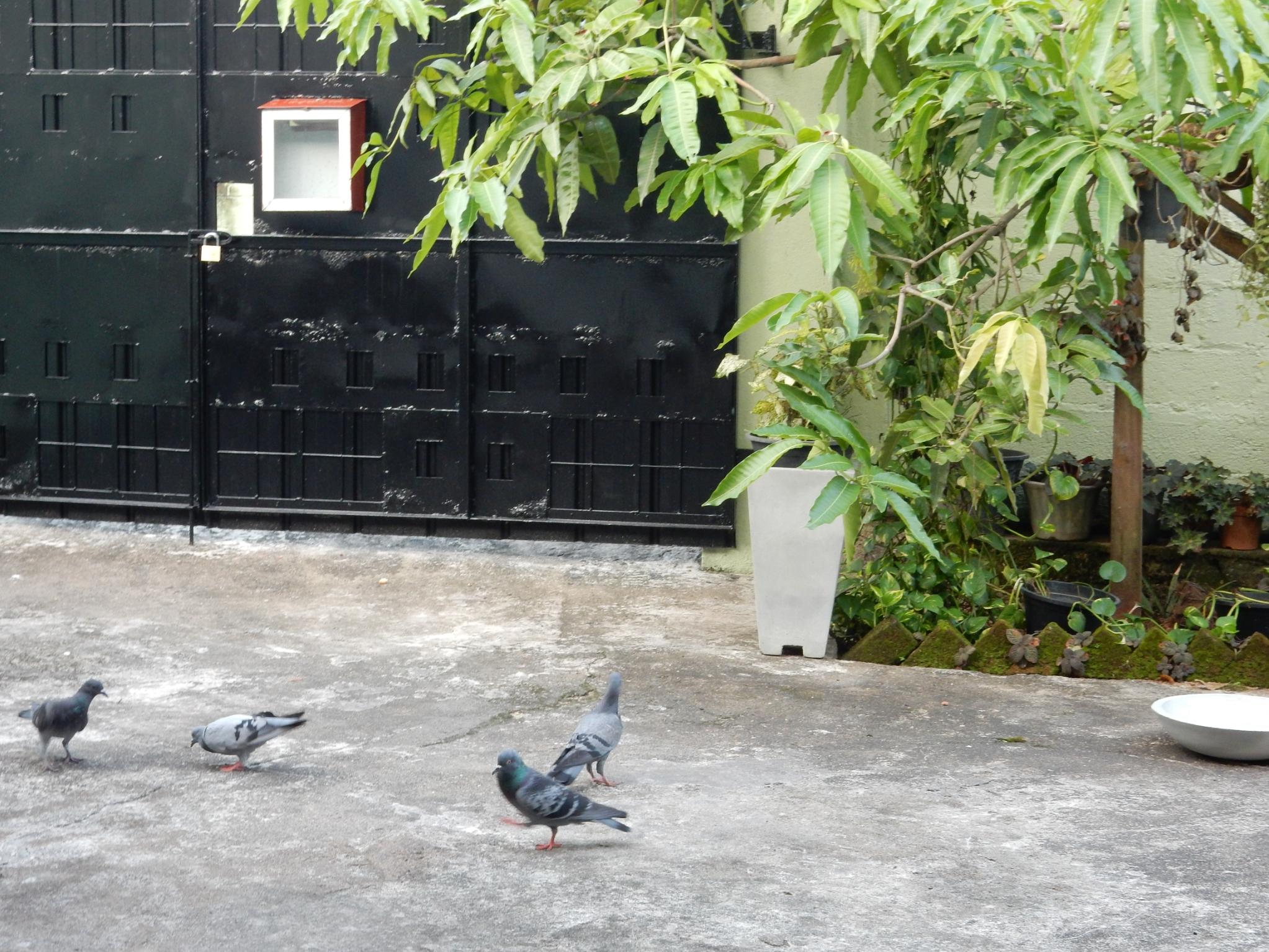 早朝庭に集まる鳩