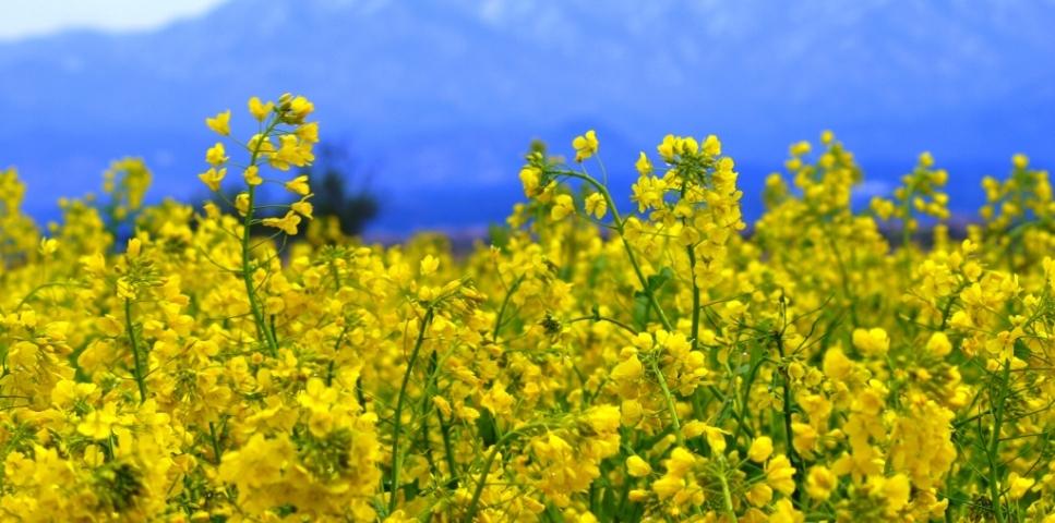 トップバナー 春 菜の花
