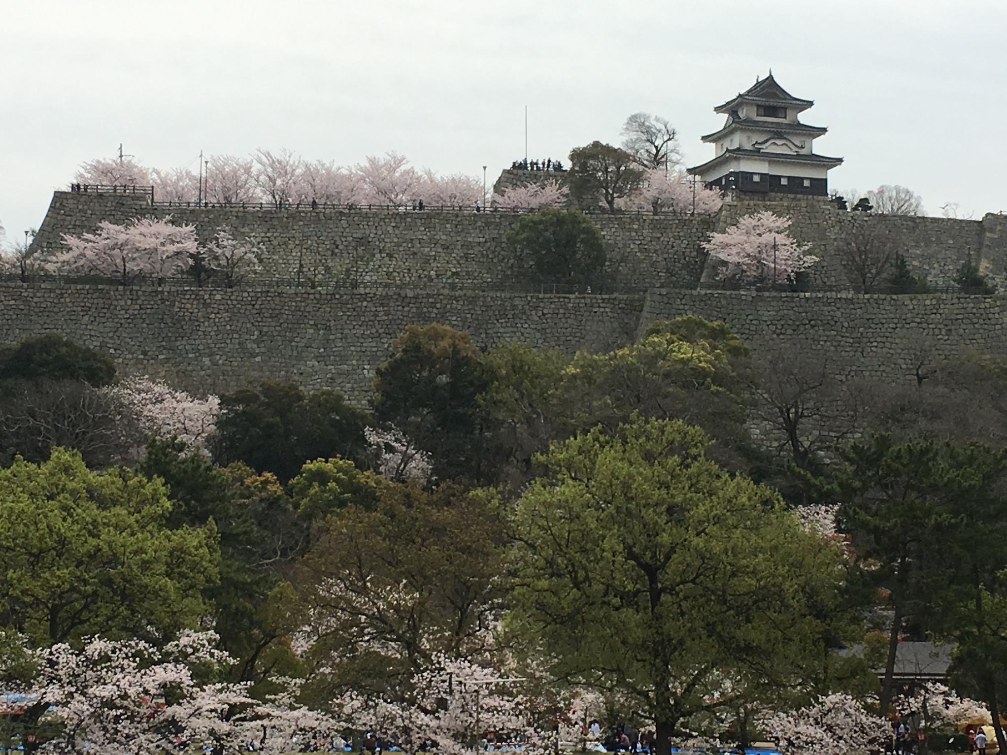 丸亀城サクラ