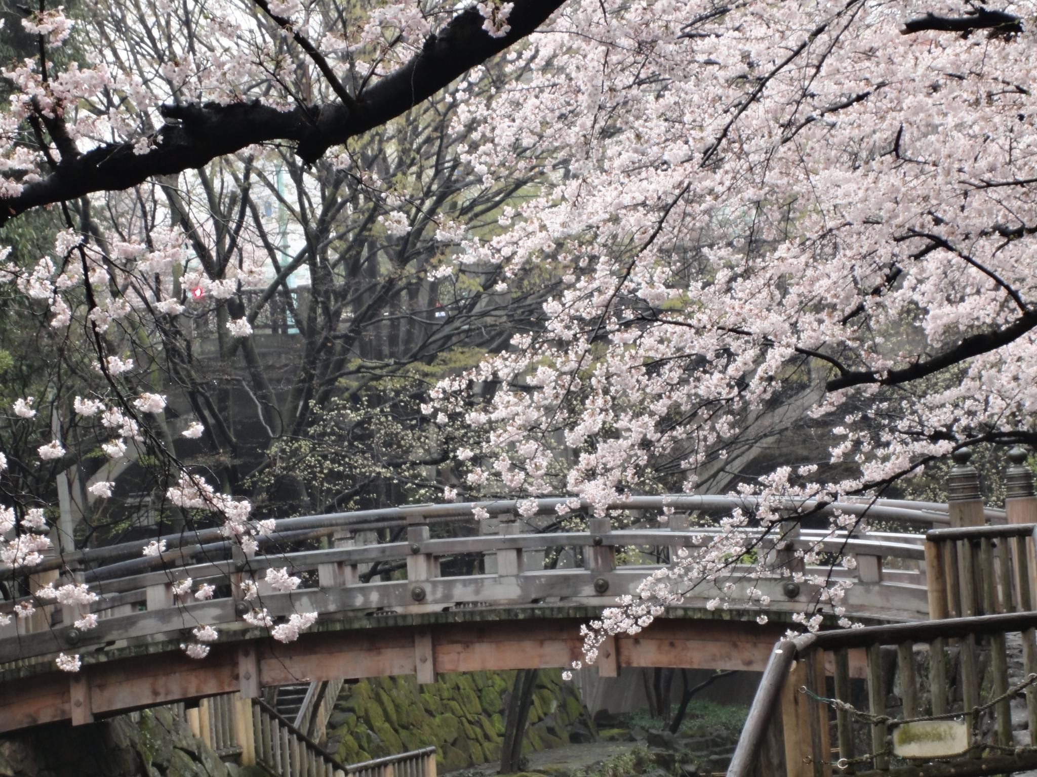 親水公園桜