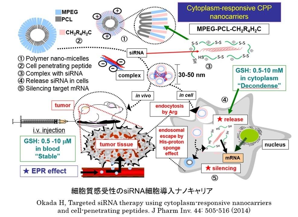 細胞質応答