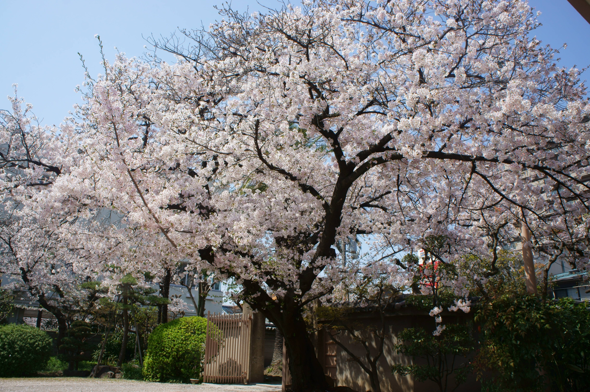 顕本寺 桜①