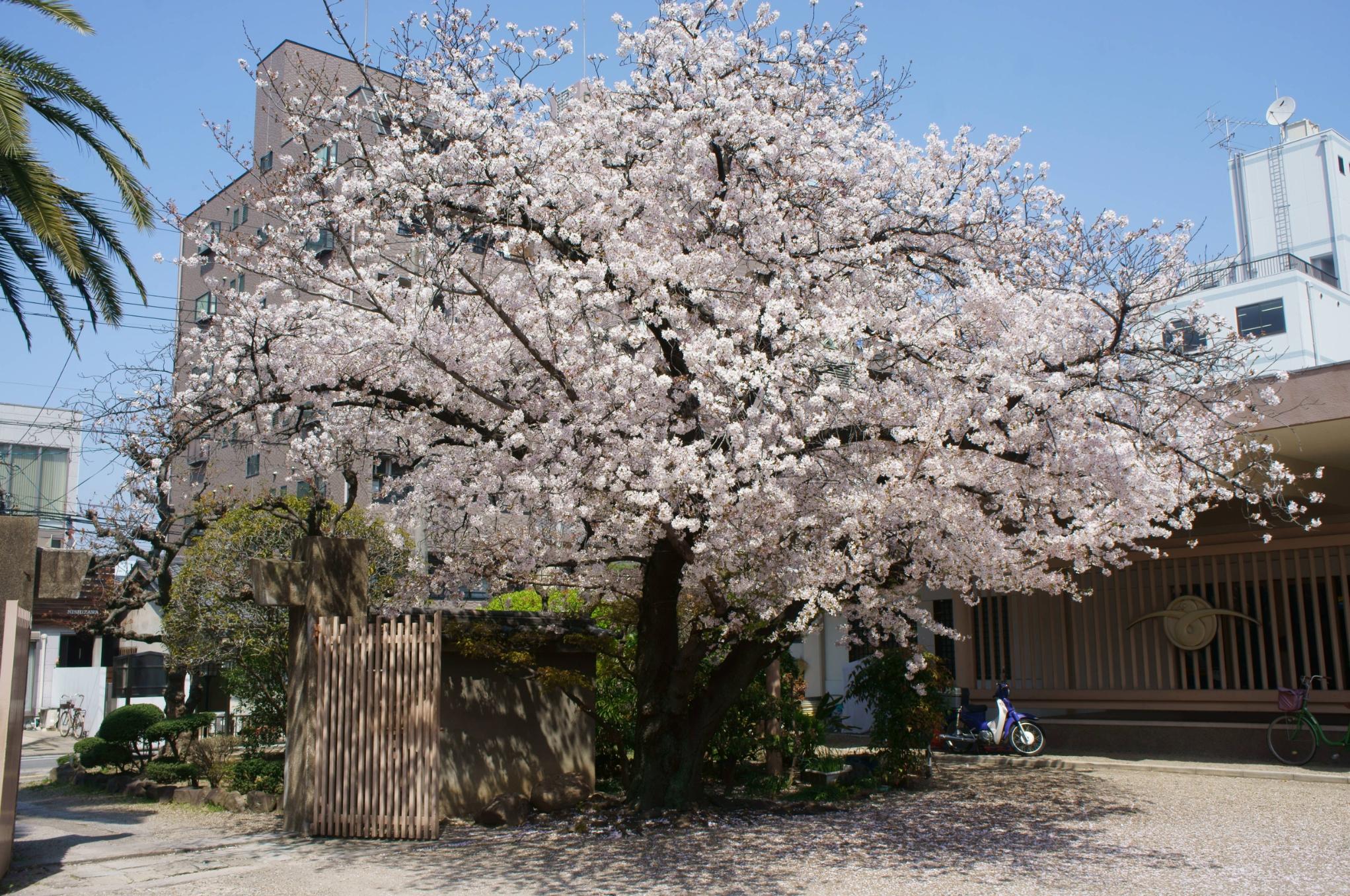 顕本寺 桜②