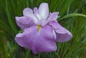 北部公園の花菖蒲