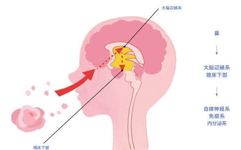 疲労をアロマで癒す脳の仕組み