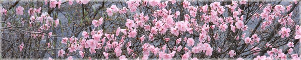 埼玉県幸手市の桜の名所権現堂公園で桜まつりが開催され話題!